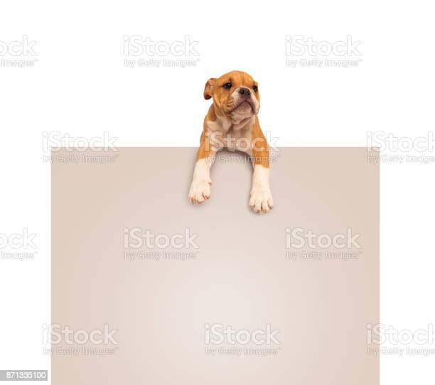 Adorable english bulldog puppy laying down on a blank board picture id871335100?b=1&k=6&m=871335100&s=612x612&h=i8znvsh lt mmx2kwwqwft4rd z7n2hqkbco0agy53s=