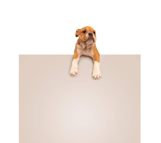 Adorable english bulldog puppy laying down on a blank board picture id871335100?b=1&k=6&m=871335100&s=612x612&w=0&h=nuuagfpw8rioqjk7fjsovuiyrghzsjn0sn3lqld47vq=
