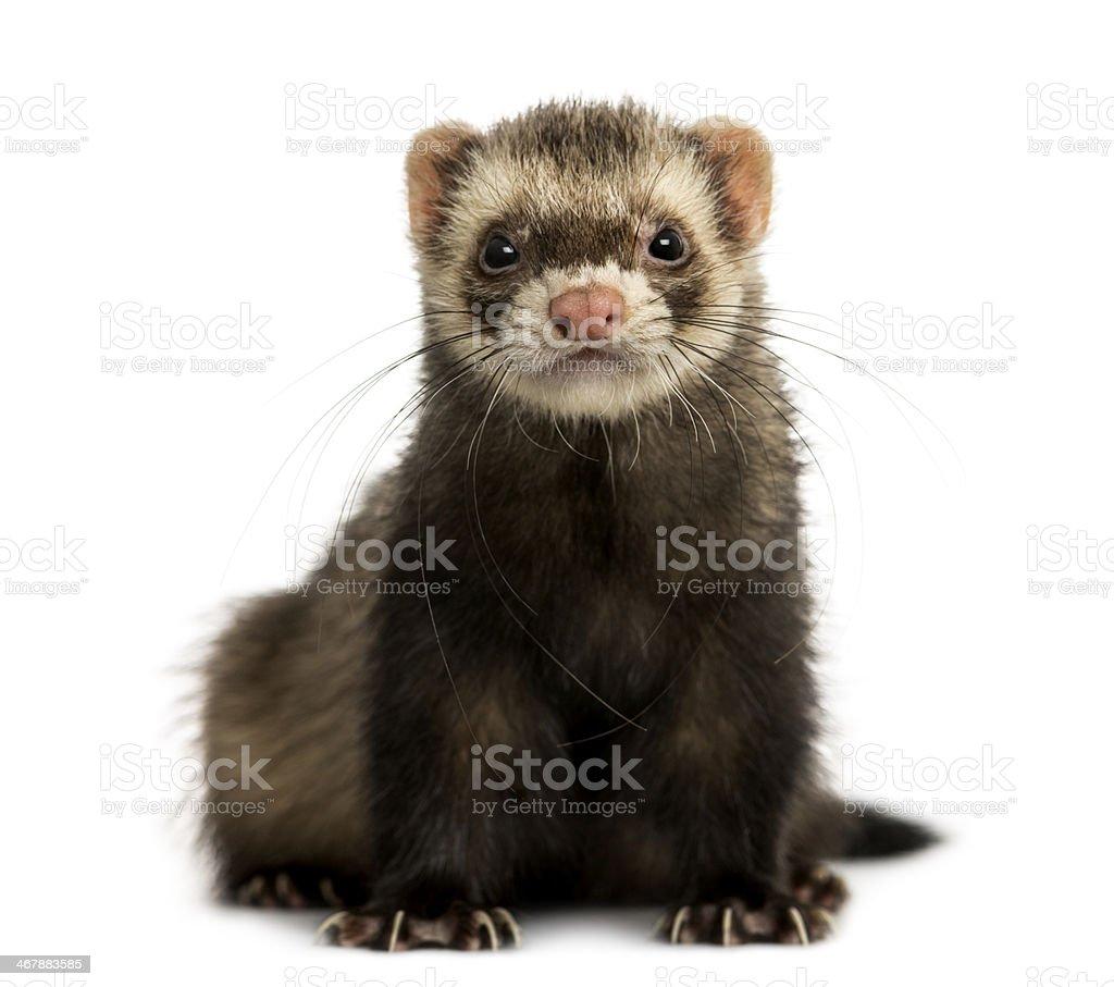 Adorable ferret staring into camera stock photo