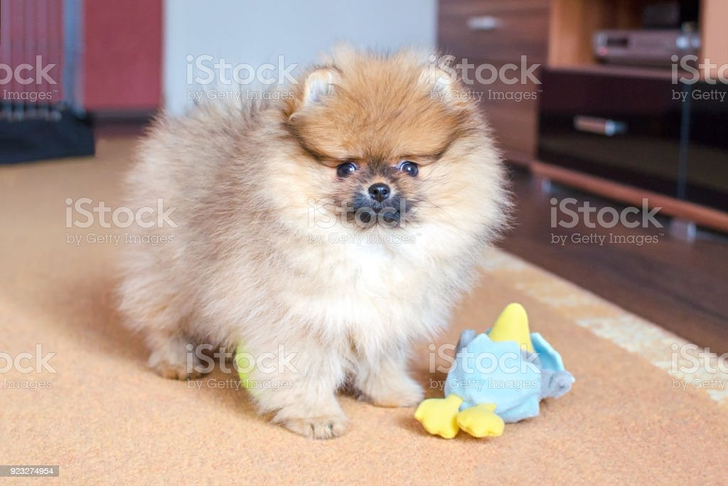 adorable fluffy pomeranian puppy standing at home with a toy