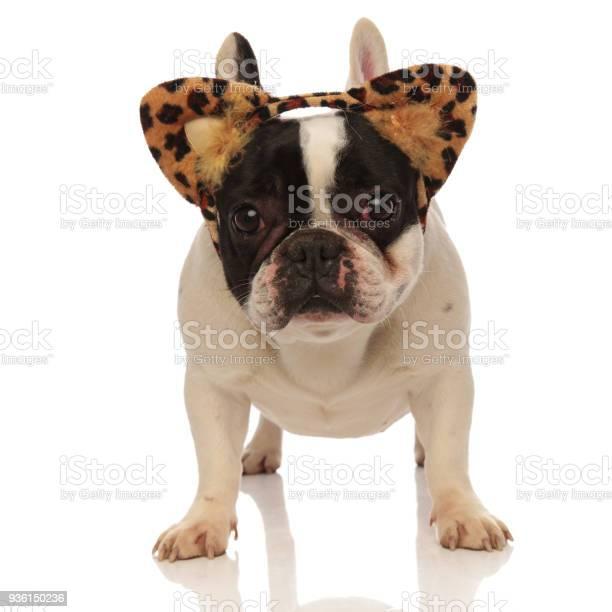 Adorable french bulldog wearing leopard ears headband picture id936150236?b=1&k=6&m=936150236&s=612x612&h=lgdax5tz2fvd2lb34gweufjftz0czs6niibzrqxqyfq=