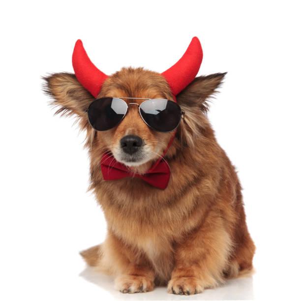 liebenswert lustige braune hund cool, böse und stylish - coole halloween kostüme stock-fotos und bilder