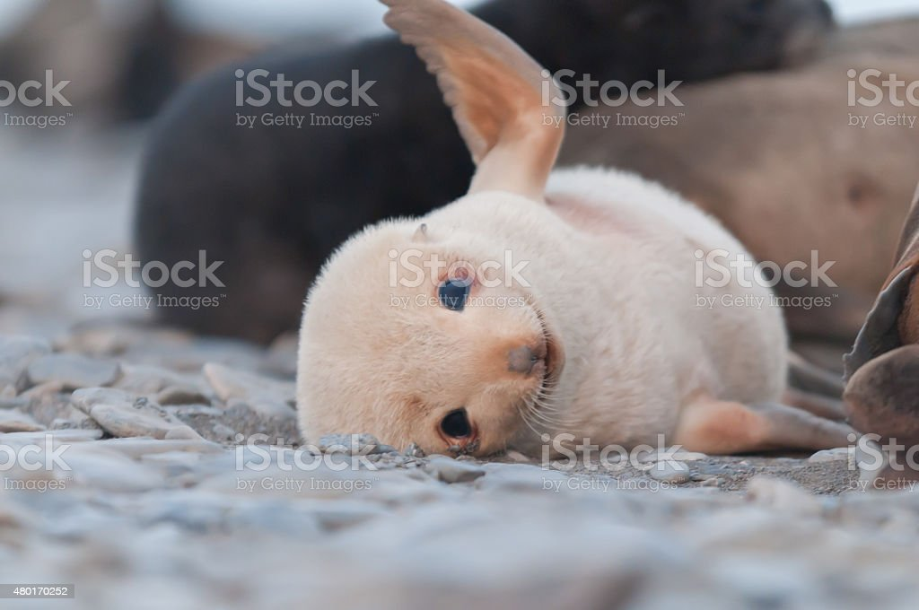 adorable fur seal pup playing stock photo