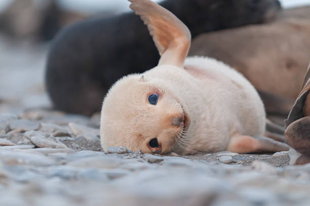 adorable fur seal pup playing cute fur seal pup playing seal pup stock pictures, royalty-free photos & images
