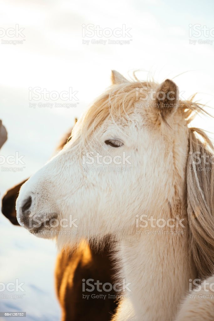 Adorable furry white Icelandic horse in the winter sunset field foto stock royalty-free