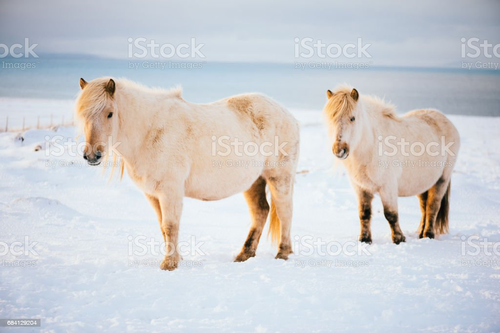 Adorable furry white Icelandic horses in the winter sunset field foto stock royalty-free