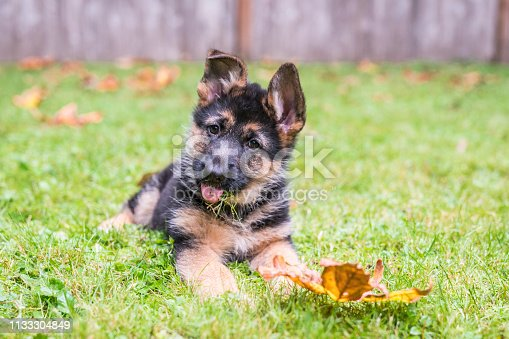 Young German Shepherd puppy practicing her head tilt with grass on her tongue in the back yard.