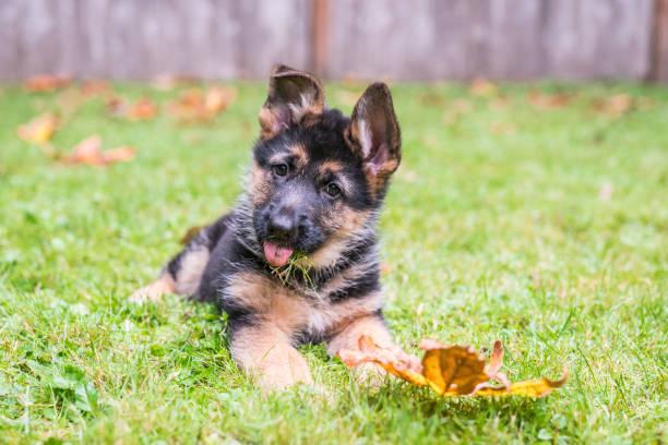 bedårande schäfer valp ligger i gräset och sticker ut tungan. - puppies bildbanksfoton och bilder