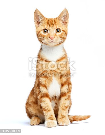 Studio image of a gorgeous young ginger kitten on a white background.
