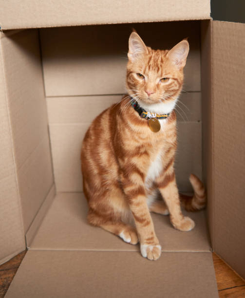 Adorable ginger red tabby kitten sitting inside a cardboard box picture id1129731739?b=1&k=6&m=1129731739&s=612x612&w=0&h=4nknroewh9ljmp9j79bpjm05ndtrpc7hsriuec5xiow=