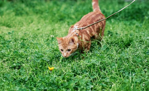 entzückende ingwer tabby katze an der leine, für den augenblick und fasziniert von einem löwenzahn. - katzengeschirr stock-fotos und bilder