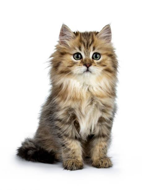 Adorable chaton chat doré pour les British Longhair assise vue de face, regardant à côté de la lentille isolé sur fond blanc - Photo