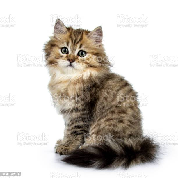 Adorable golden british longhair cat kitten sitting side ways looking picture id1041045100?b=1&k=6&m=1041045100&s=612x612&h=bmghd40vdqaxsmr3bso9a  bjlm8ioysx0x2u6ipsfa=