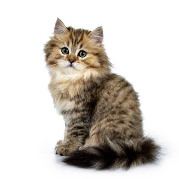 Adorable golden british longhair cat kitten sitting side ways looking picture id1041045100?b=1&k=6&m=1041045100&s=612x612&w=0&h=4kim94pw5l 45nt9jiu5fnvjexpakp0wkqjtjdei37e=