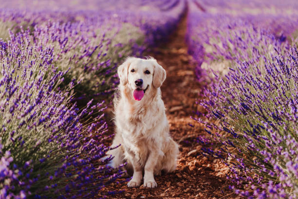 Adorable Golden Retriever dog in lavender field at sunset. Beautiful portrait of young dog. Pets outdoors and lifestyle stock photo