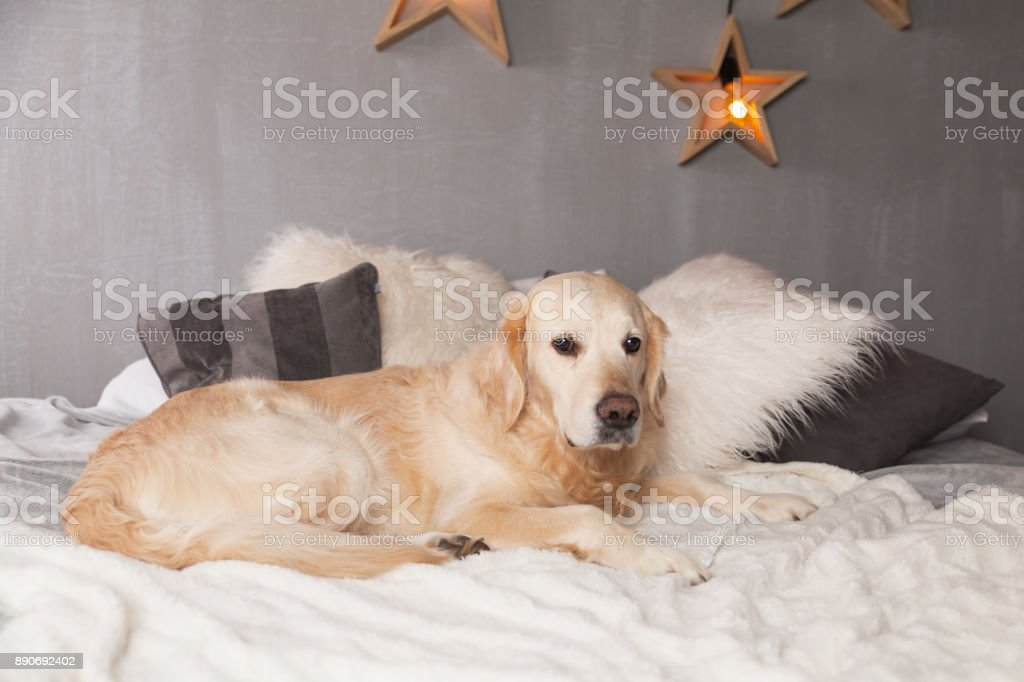 Simple Golden Retriever Canine Adorable Dog - adorable-golden-retriever-dog-on-light-pastel-gray-white-scandinavian-picture-id890692402  Best Photo Reference_598687  .com/photos/adorable-golden-retriever-dog-on-light-pastel-gray-white-scandinavian-picture-id890692402