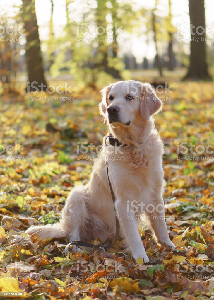 Simple Golden Retriever Canine Adorable Dog - adorable-golden-retriever-dog-sitting-on-a-fallen-yellow-leaves-picture-id837731236  Best Photo Reference_598687  .com/photos/adorable-golden-retriever-dog-sitting-on-a-fallen-yellow-leaves-picture-id837731236