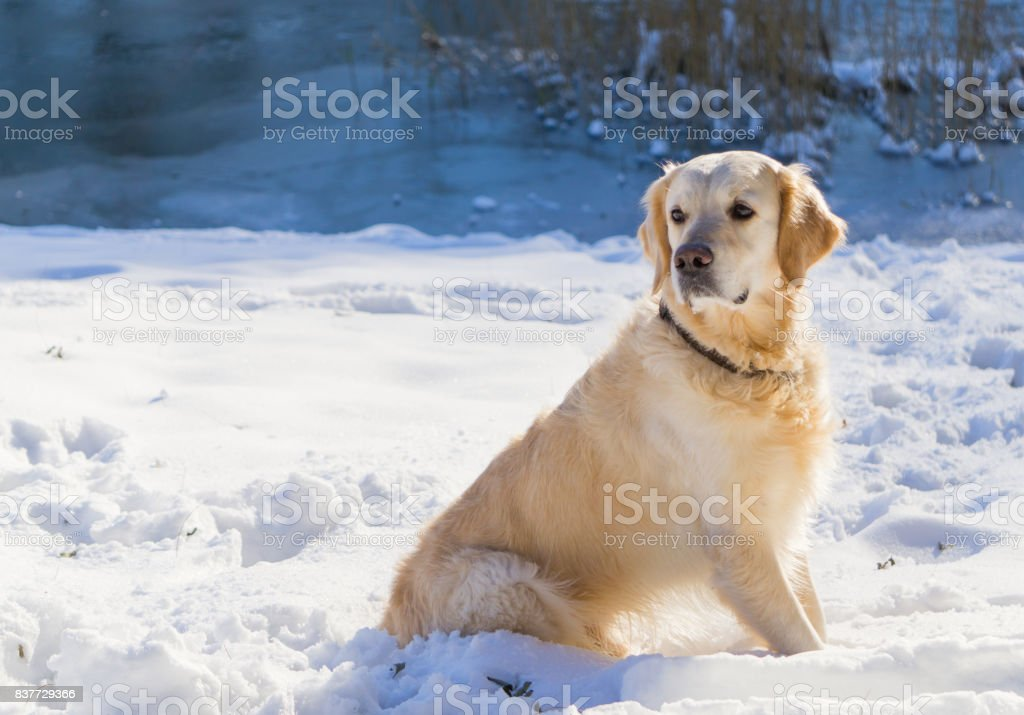 Simple Golden Retriever Canine Adorable Dog - adorable-golden-retriever-dog-sitting-on-snow-outdoor-near-the-lake-picture-id837729366  Best Photo Reference_598687  .com/photos/adorable-golden-retriever-dog-sitting-on-snow-outdoor-near-the-lake-picture-id837729366