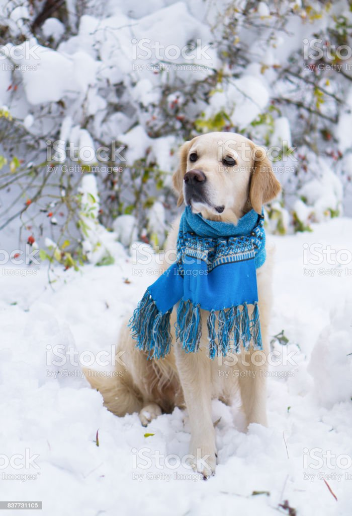 Fantastic Golden Retriever Canine Adorable Dog - adorable-golden-retriever-dog-wearing-blue-scarf-sitting-on-snow-in-picture-id837731106  Snapshot_792346  .com/photos/adorable-golden-retriever-dog-wearing-blue-scarf-sitting-on-snow-in-picture-id837731106
