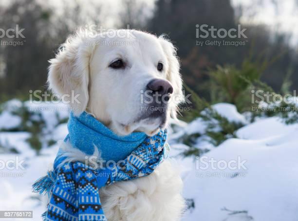 Adorable golden retriever dog wearing blue scarf sitting on snow in picture id837765172?b=1&k=6&m=837765172&s=612x612&h=jdaqeadgxbv9dllbs kvqtezlbxyqjjqdr85mo4crjq=