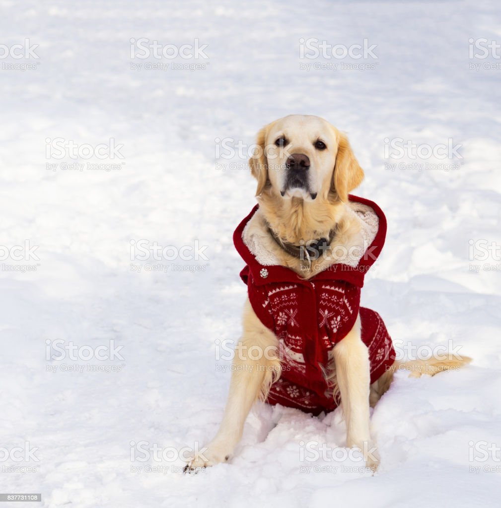 Simple Golden Retriever Canine Adorable Dog - adorable-golden-retriever-dog-wearing-warm-red-christmas-coat-sitting-picture-id837731108  Best Photo Reference_598687  .com/photos/adorable-golden-retriever-dog-wearing-warm-red-christmas-coat-sitting-picture-id837731108
