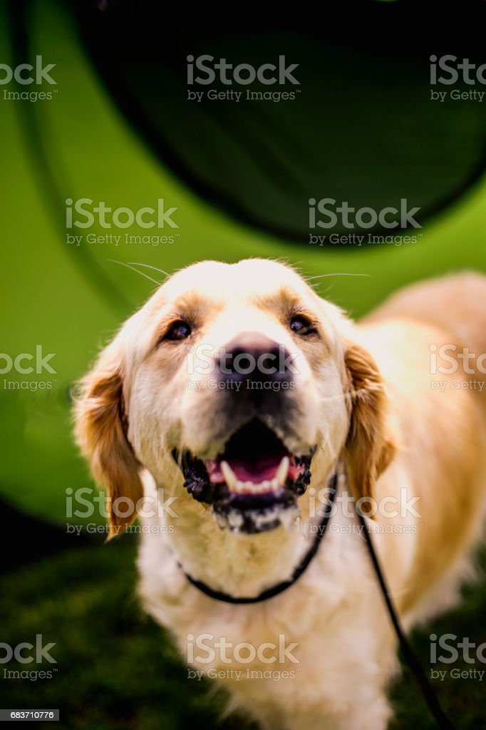 Adorable Golden Retriever stock photo