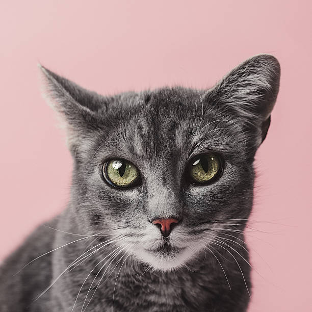 Adorable grey cat on pink – Foto