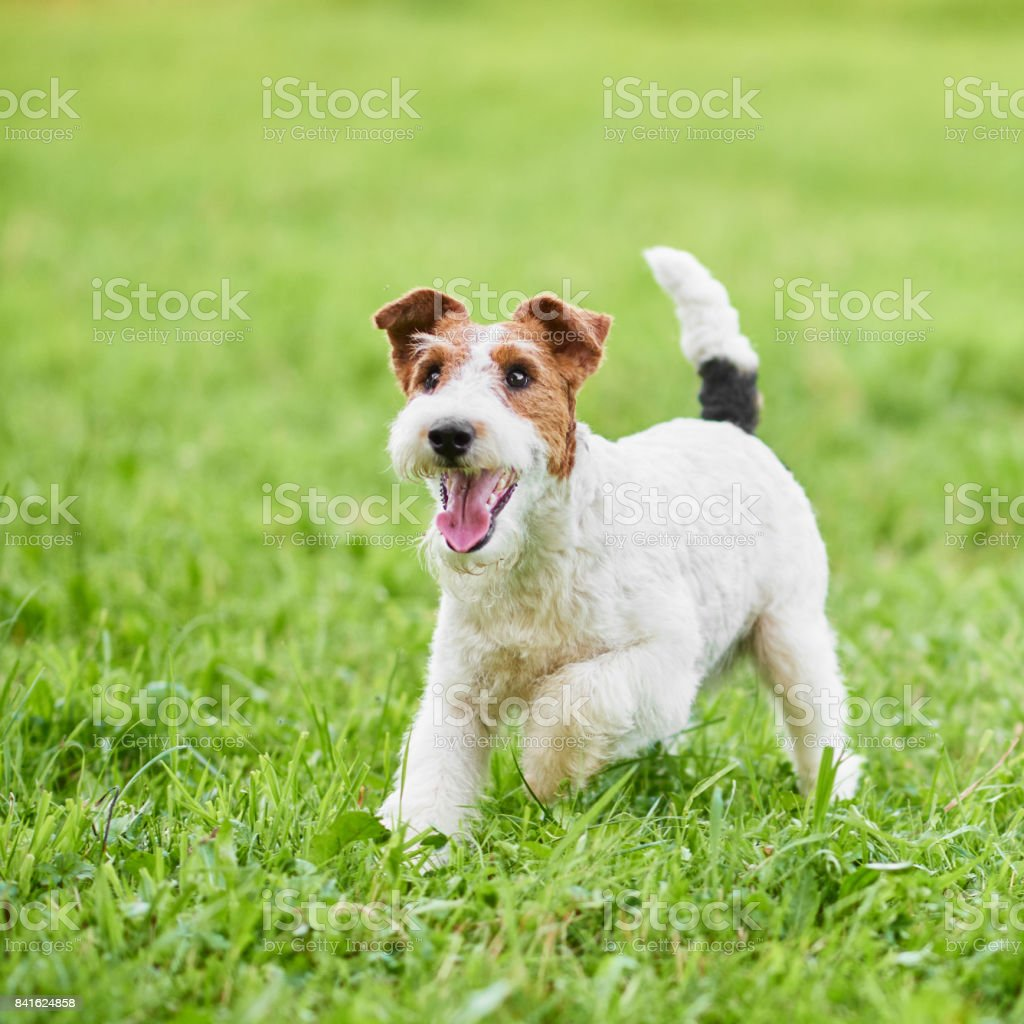 Adorable happy fox terrier dog at the park stock photo