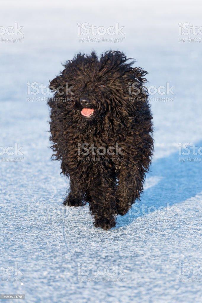 Adorable hungarian dog breed, puli stock photo