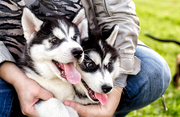 adorable husky Puppy with protruding tongues stock photo