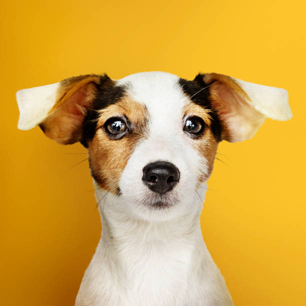 Adorable Jack Russell Retriever puppy portrait stock photo