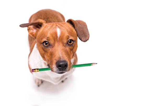 Entzückende Jack Russell Terrier Hund hält einen Stift in den Mund. Niedliche Bürohund – Foto