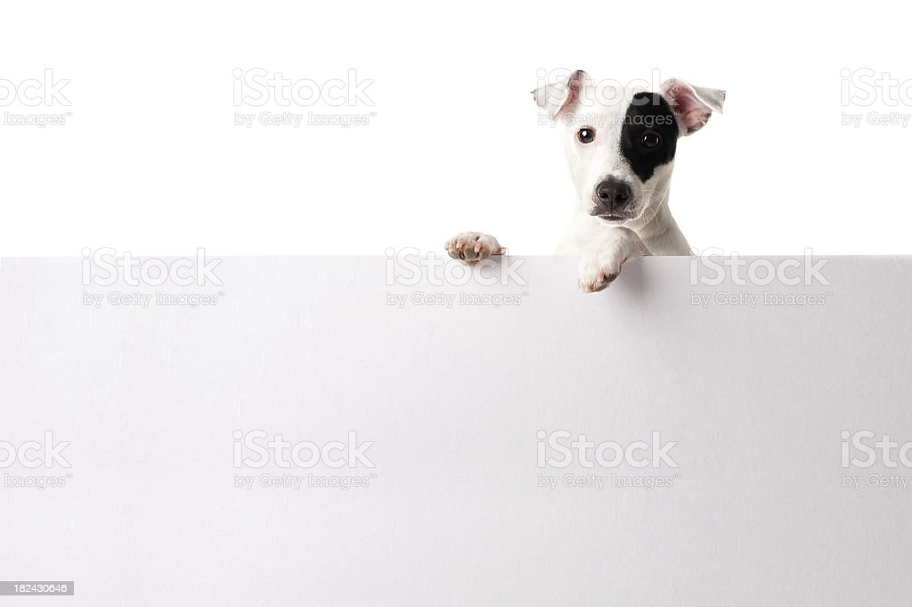 Adorable jack russell with a banner stock photo