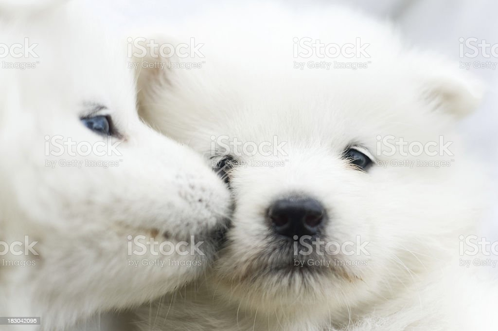 Adorable kissing Samoyed puppies, only a few weeks old royalty-free stock photo