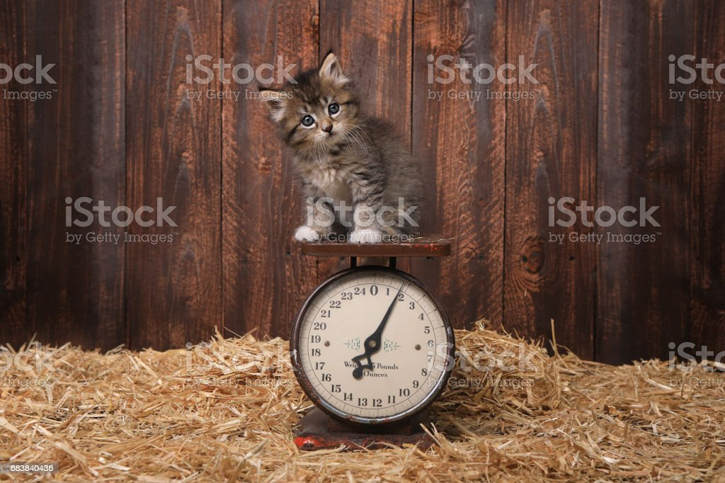 Adorable Kitten on Antique Vintage Scale stock photo