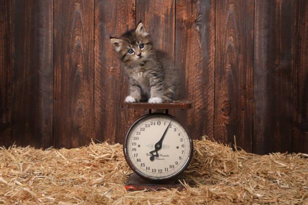 Adorable Kitten on Antique Vintage Scale stock photo
