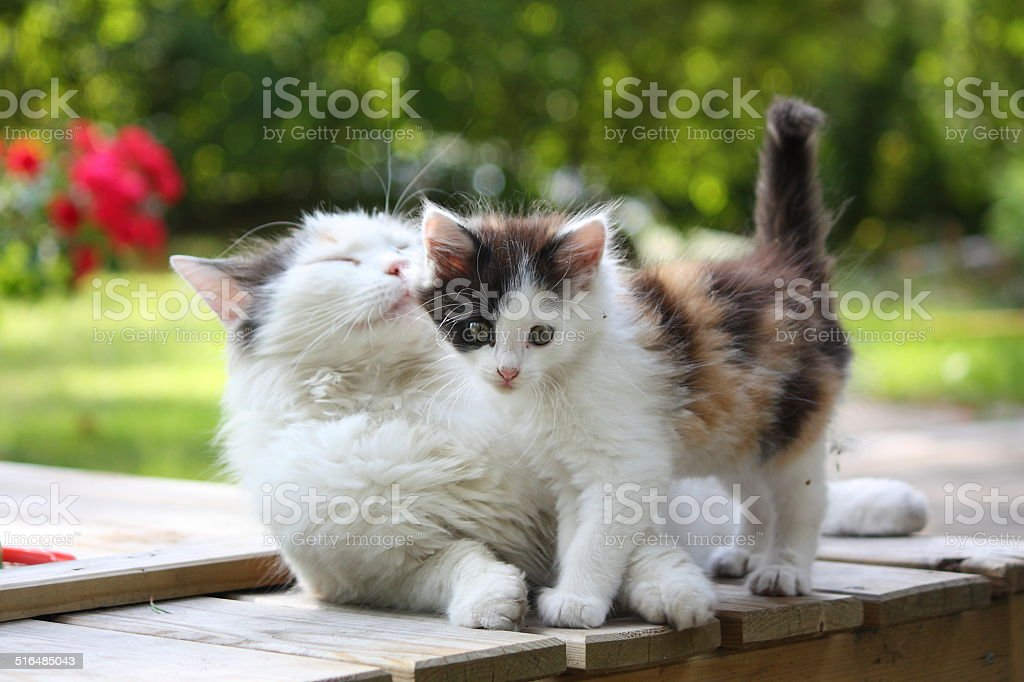 Adorable kitten resting with his mother stock photo