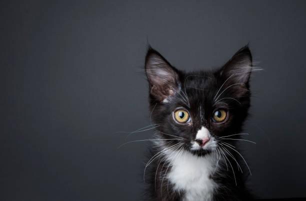 Adorable kitten the amanda collection picture id820788884?b=1&k=6&m=820788884&s=612x612&w=0&h=w2 gw6cf0vdn 4 ix9ztwvyd1oquhlpiidopps4jkiu=