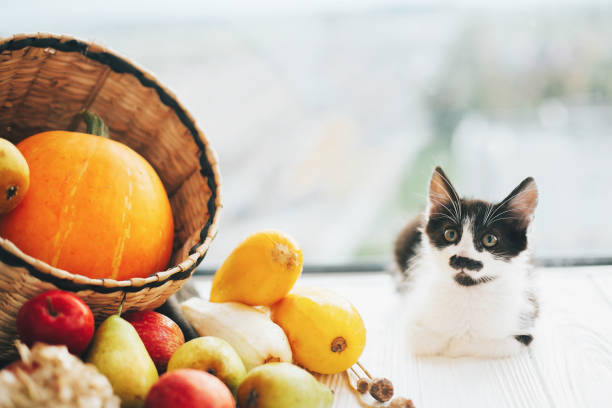 Adorable kitty sitting at pumpkin ,zucchini, apples and pears in straw basket in light on wooden background. harvest and hello autumn concept with space for text. Happy Thanksgiving Adorable kitty sitting at pumpkin ,zucchini, apples and pears in straw basket in light on wooden background. harvest and hello autumn concept with space for text. Happy Thanksgiving thanksgiving pets stock pictures, royalty-free photos & images