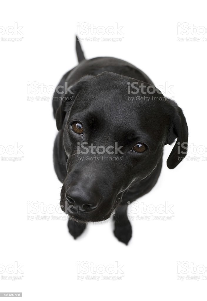 Adorable Labrador dog isolated on white background royalty-free stock photo