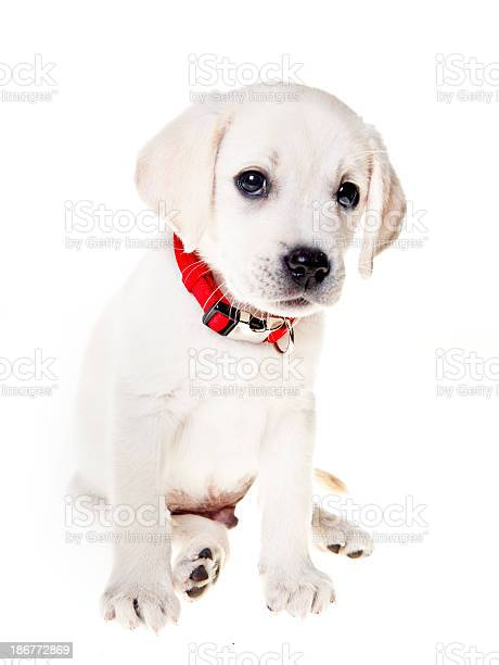 Adorable labrador retriever puppy picture id186772869?b=1&k=6&m=186772869&s=612x612&h=blgkq650k95ldwweqmbo6ez 8 piw5b79rcx5uf9yqe=