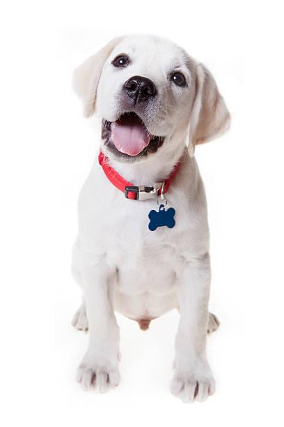 süße labrador retriever welpen - halsband stock-fotos und bilder