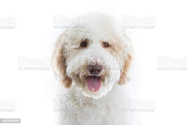 Adorable large dog looks at the camera picture id863958092?b=1&k=6&m=863958092&s=612x612&h=uyubhejcxqmw 7x6w9mrxm5dwzwsxd0vpg4ofuvjg2o=