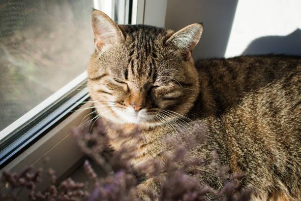 Adorable lazy cat sleeping on windowsill home pet domestic animal picture id1157001735?b=1&k=6&m=1157001735&s=612x612&w=0&h=ycffftt tlj2 apbcim3k pfthhjnj x6aaqze6kmm4=