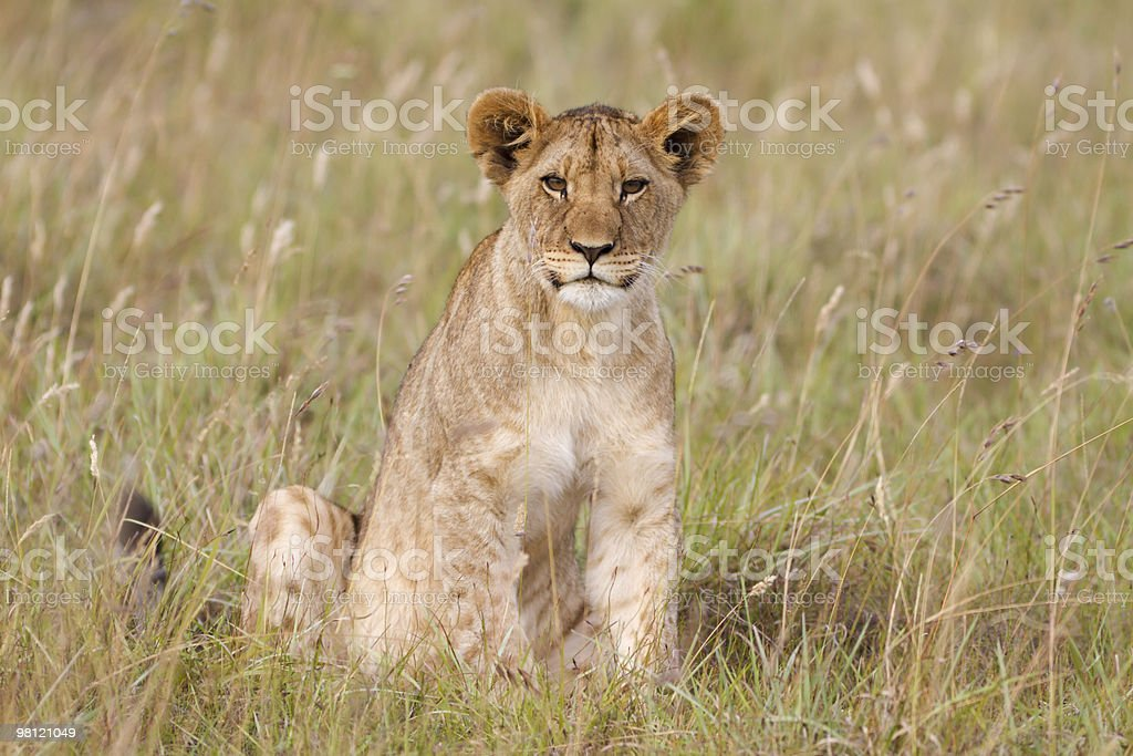 Adorable lion cub royalty-free stock photo