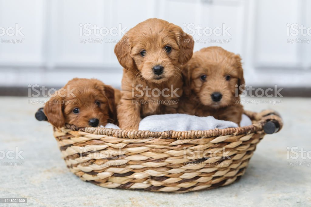 Adorable Litter Of Goldendoodle Puppies In A Basket Stock Photo Download Image Now Istock