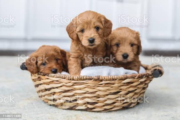 Adorable litter of goldendoodle puppies in a basket picture id1148221339?b=1&k=6&m=1148221339&s=612x612&h=sj7lfh5rkorgh4pzcejbrjeudd5kjmztgn0usdppzse=