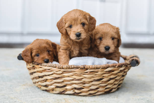 adorable litter of goldendoodle puppies in a basket - allevatore foto e immagini stock