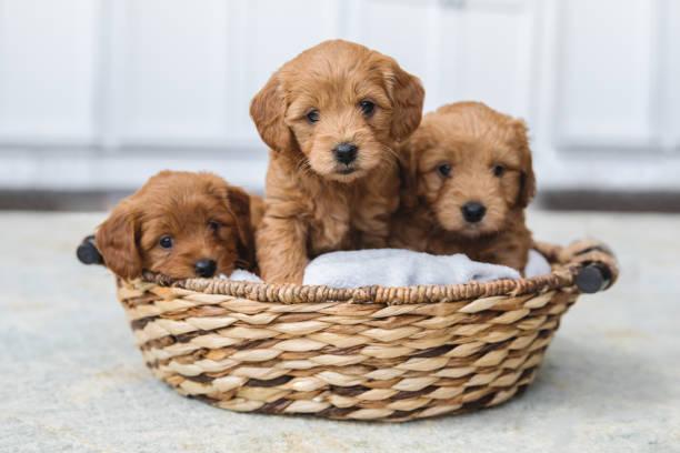 bedårande kull goldendoodle valpar i korg - puppies bildbanksfoton och bilder