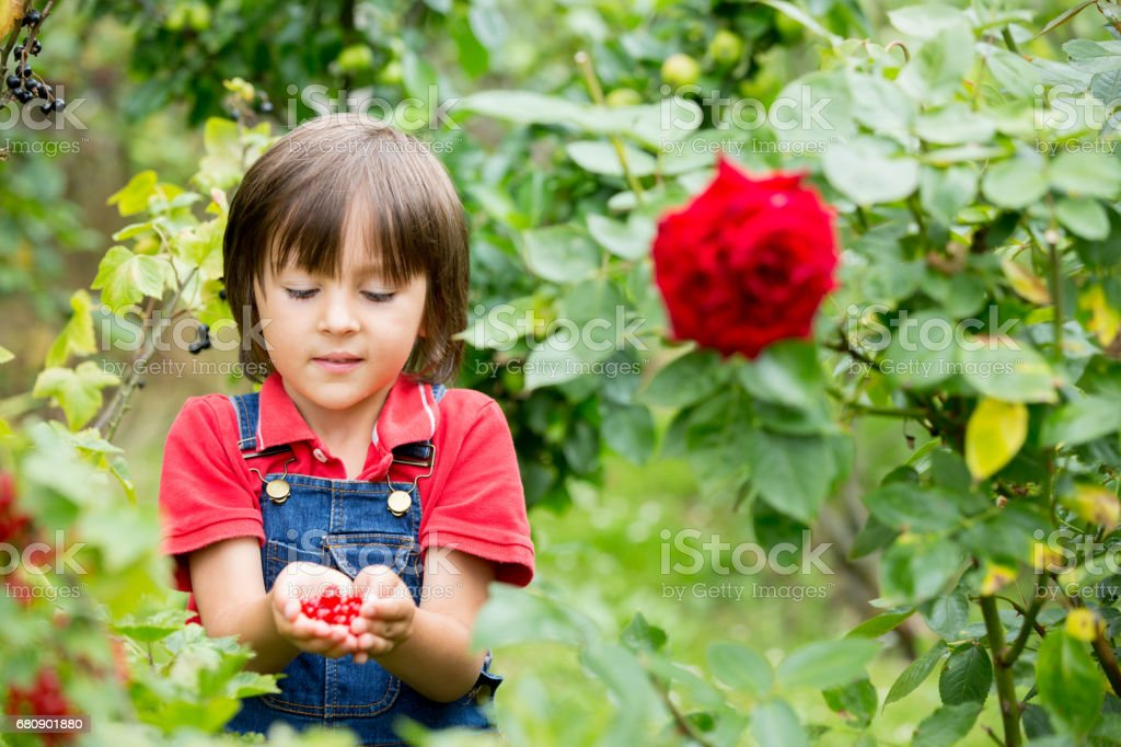 Adorable little boy, holding red currants in his hands, making shape of heat, freshly gathered royalty-free stock photo